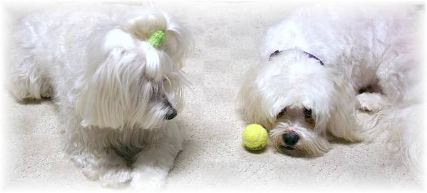 Photograph Maltese Dogs Poster featuring the photograph The Ball by BJ Redmond