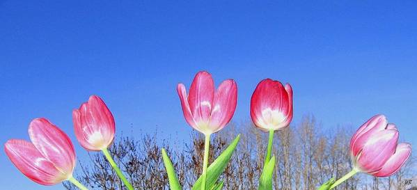 Tulips Poster featuring the photograph Tulip Panorama by Will Borden