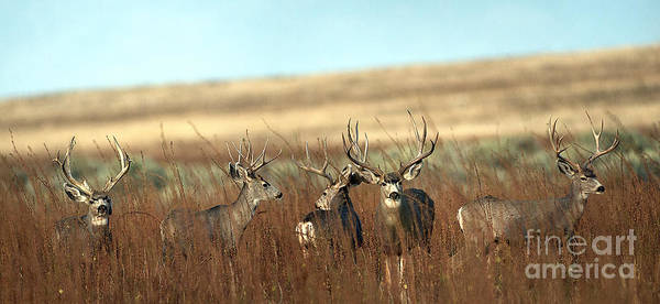 Mule Poster featuring the photograph Big Mule Deer Bucks by Earl Nelson
