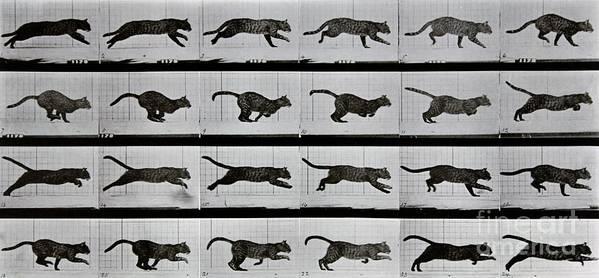 Muybridge Poster featuring the photograph Cat Running by Eadweard Muybridge