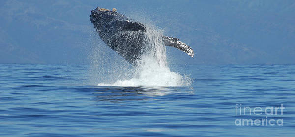 Whales Poster featuring the photograph Humpback Whale Breaching by Bob Christopher