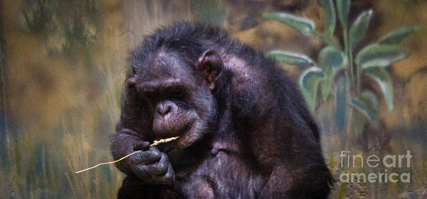 Chimpanzee Poster featuring the photograph A Long Life by James Begley