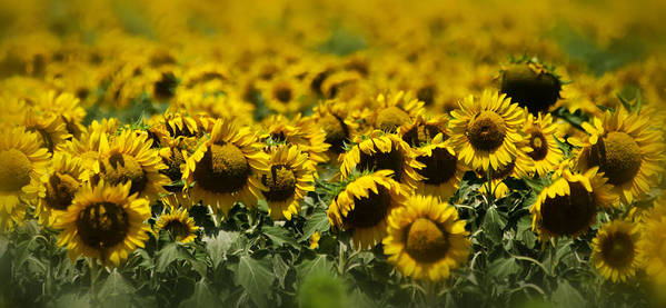 Sunflowers Poster featuring the photograph The Sunflower Patch II by Lisa Moore