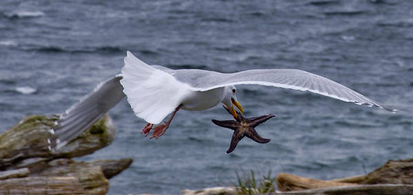 Seagull Poster featuring the photograph Lunch Time by Chrissy Gibbs