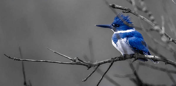 Poster featuring the photograph Belted Kingfisher by Brian Stevens