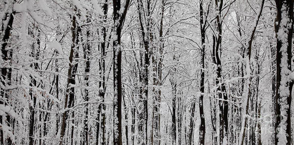 Winter Poster featuring the photograph Magic Forest by Gabriela Insuratelu