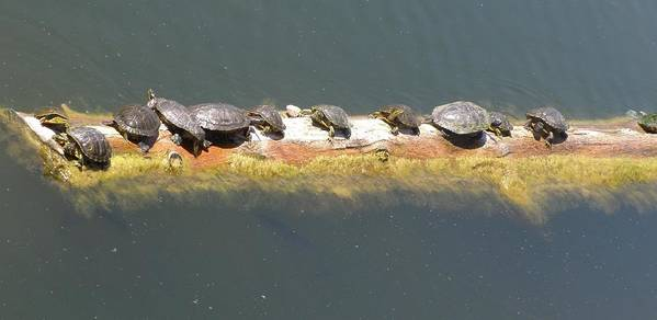 Turtles Poster featuring the photograph Nap Time by Jeanette Oberholtzer