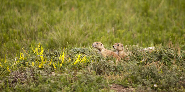 Prairie Dogs Poster featuring the photograph Prairie Dogs On Lookout by Chad Davis