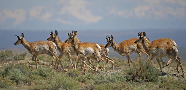 Pronghorn Poster featuring the photograph Pronghorn Antelope Running by Heather Coen