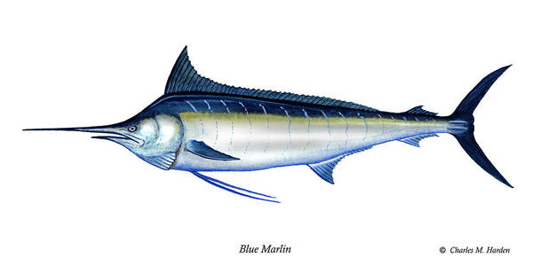 Charles Poster featuring the painting Blue Marlin by Charles Harden