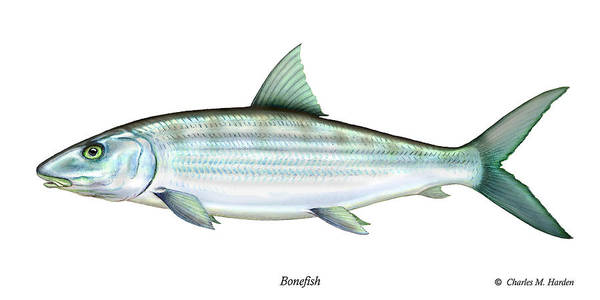 Charles Poster featuring the painting Bonefish by Charles Harden