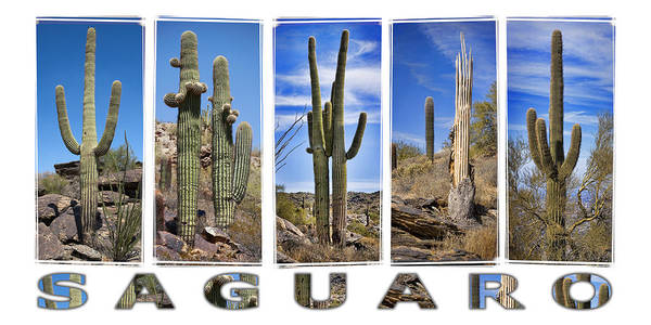 Saguaros Poster featuring the photograph Five Saguaros by Kelley King
