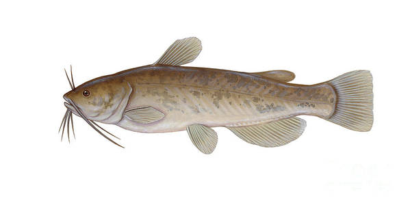 Side View Poster featuring the digital art Illustration Of A Brown Bullhead by Carlyn Iverson