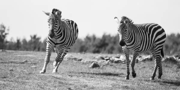 Racing Zebras Poster featuring the photograph Racing Zebras by Tracy Winter