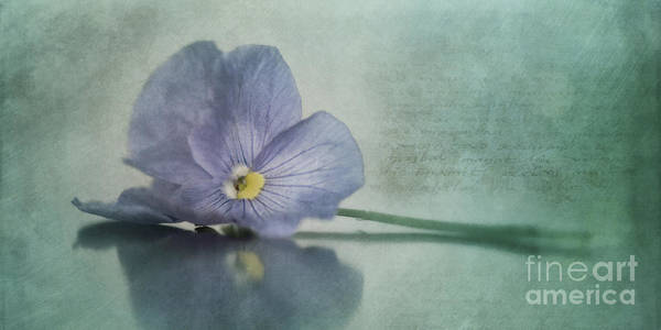 Pansy Poster featuring the photograph Resting by Priska Wettstein