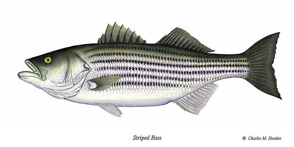 Striped Bass Art Poster featuring the painting Striped Bass by Charles Harden