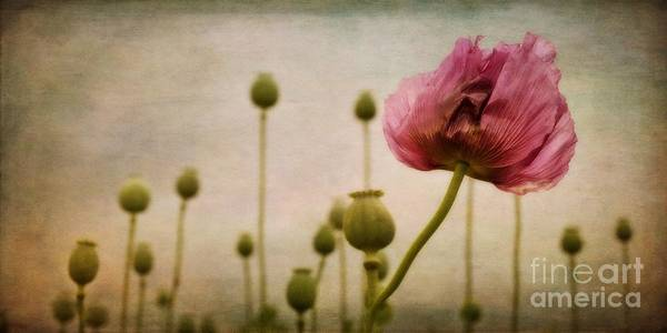 Papaver Poster featuring the photograph Depth Of Poppy Field by Priska Wettstein