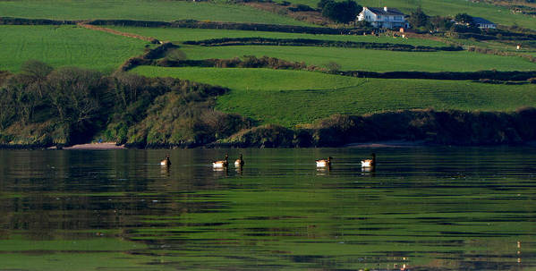 Ducks Poster featuring the photograph Ducks In Dingle Harbour by Barbara Walsh