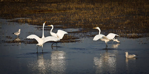 Birds Poster featuring the photograph The Egrets by Steve McKinzie