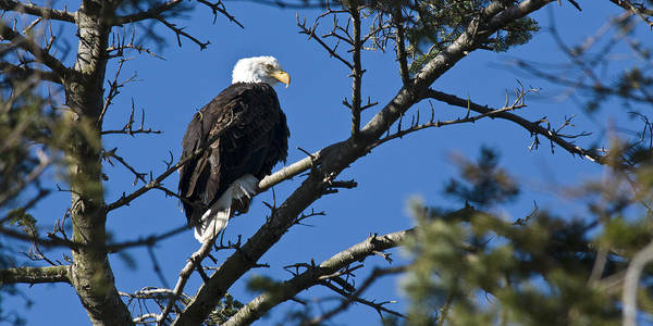Chad Davis Poster featuring the photograph American Bald Eagle by Chad Davis