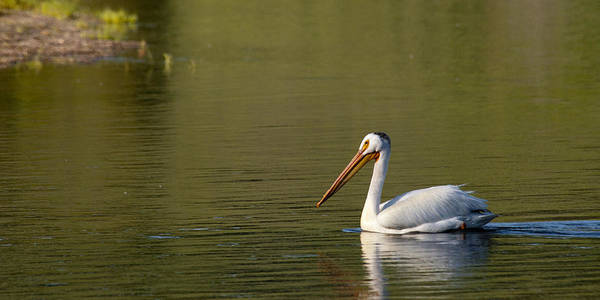 Pelican Poster featuring the photograph American White Pelican by Chad Davis