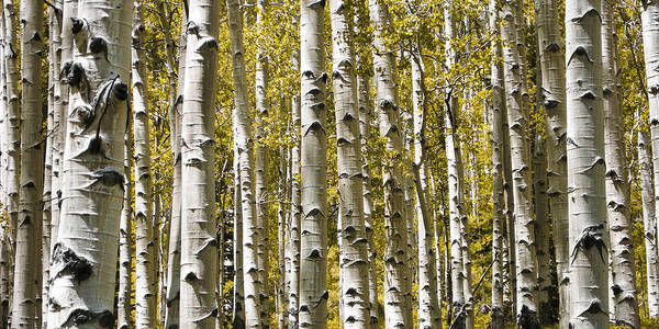 3scape Photos Poster featuring the photograph Autumn Aspens by Adam Romanowicz