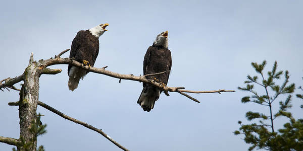Bald Eagle Poster featuring the photograph Bald Eagle Music by Chad Davis