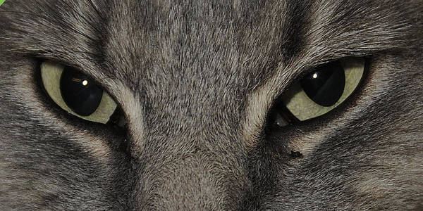 Eyes Poster featuring the photograph Cat Eyes 2 by Keith Lovejoy