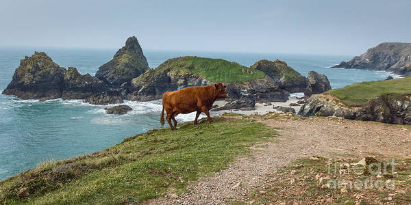 Cornwall Poster featuring the photograph Cow At Kynance Cove by Philip Pound
