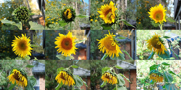 Sunflower Poster featuring the photograph Life Of A Sunflower by Vava Fuller-quinn