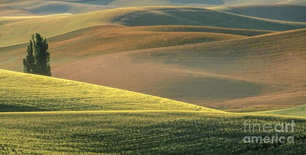 Landscape Poster featuring the photograph Lone Tree In The Palouse by Sandra Bronstein