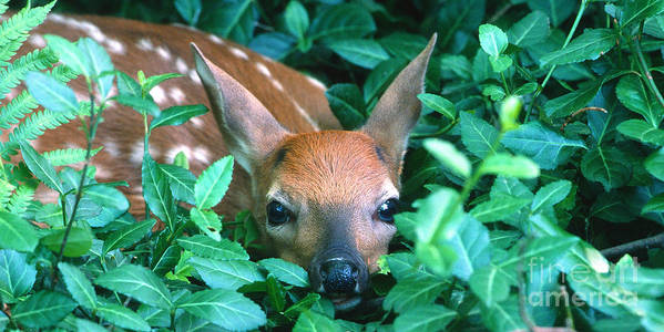Fawn Poster featuring the photograph Playing Peekaboo by Sandra Bronstein