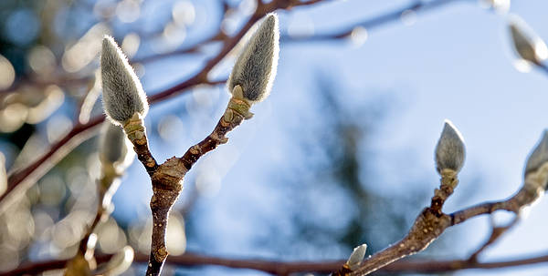 Pussy Willow Poster featuring the photograph Pussy Willow by Jim DeLillo
