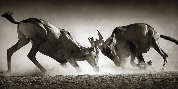 Hartebeest Poster featuring the photograph Red Hartebeest Dual In Dust by Johan Swanepoel