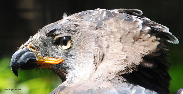 african Crowned Eagle Poster featuring the photograph African Crowned Eagle by DiDi Higginbotham