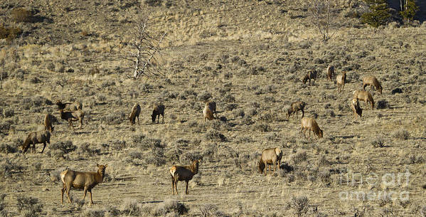 Elk Poster featuring the photograph Herd Of Elk  #3218 by J L Woody Wooden