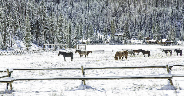 Horses Poster featuring the photograph Horses In The Snow by Carolyn Fox