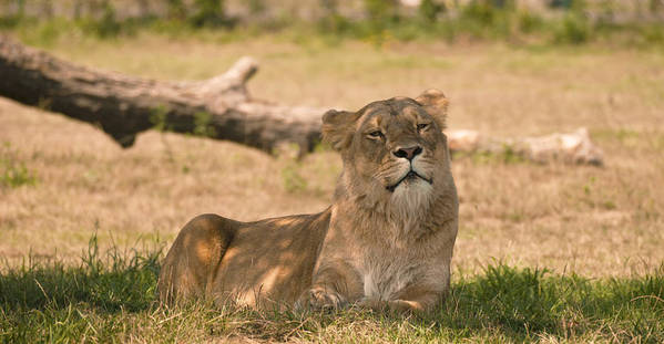 Large Feline Poster featuring the photograph Lioness by Tracy Winter
