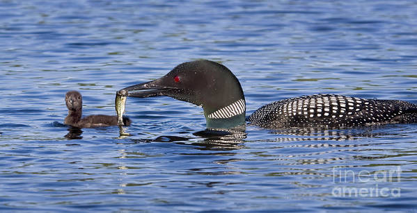 Birds Poster featuring the photograph Loon Offers Fish To Chick by Jim Block