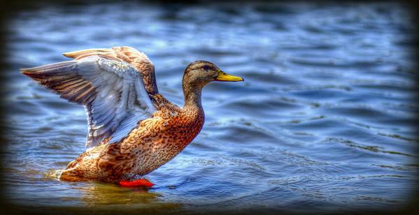 Wildlife. Ducks Poster featuring the photograph Flight by Craig Incardone