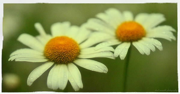 Daisy Poster featuring the photograph Daisies by Sheri Bartoszek