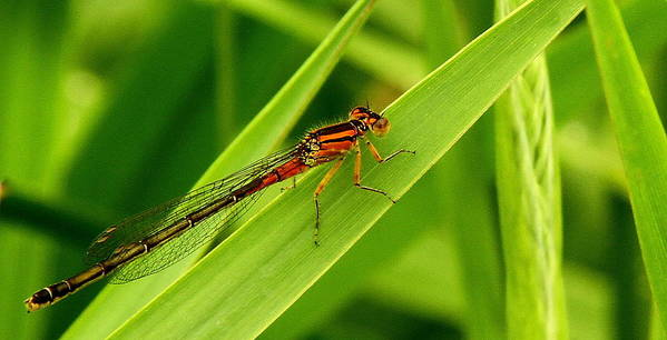 Red Damsel Fly Poster featuring the photograph Red Damsel Fly by Don Downer