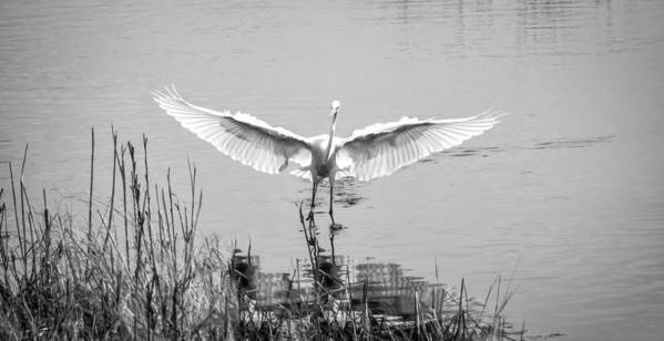 Bird Poster featuring the photograph Great White Egret by David Kay