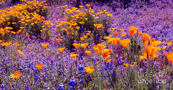 Poppy Poster featuring the photograph California Poppy And Lupin by Gail Salitui