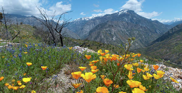 California Poster featuring the photograph California Poppy And Mountain Panorama by Cascade Colors