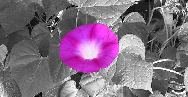 Pink Morning Glory Railroad Vine Plant Vines Poster featuring the photograph Glory Pink by Lindsay Clark