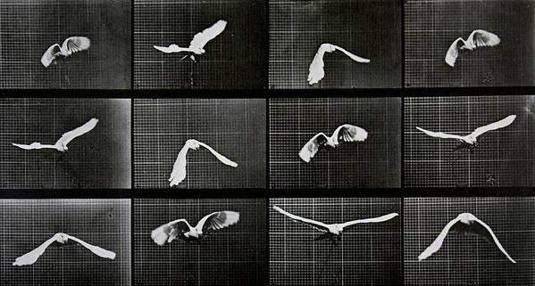 Muybridge Poster featuring the photograph Bird In Flight by Eadwerd Muybridge