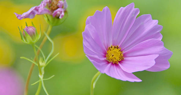 Color Poster featuring the photograph Cosmos Flower In Full Bloom And Bud by A Gurmankin