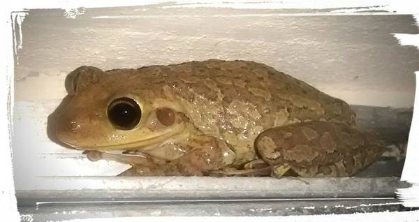 Cuban Tree Frog Poster featuring the photograph Cuban Tree Frog by Zech Browning
