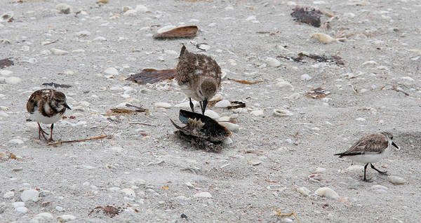 Black-bellied Plover Poster featuring the photograph Trio Of Shore Birds by Doris Potter